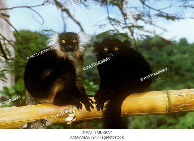 Black Lemurs Male/L & Female (Eulemur macaco macaco) Nosy Komba, Madagascar