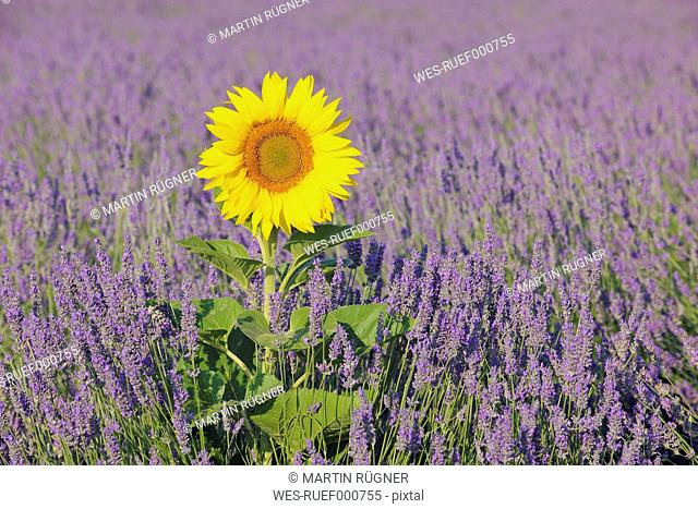 France, Mediterranean Area, Plateau De Valensole, Valensole, View of lavender field with sunflower