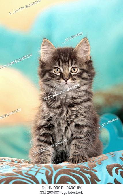 American Longhair, Maine Coon. Tabby kitten sitting on a cushion. Germany