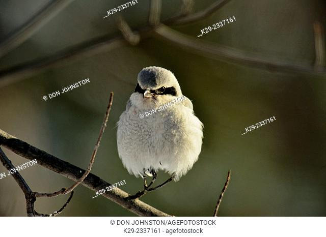 Northern shrike (Lanius excubitor), Greater Sudbury (Lively), Ontario, Canada