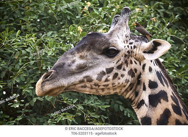 Rhodesian / Thornicroft giraffe (Giraffa camelopardalis thornicrofti) close up of head with red-billed oxpecker (Buphagus erythrorhynchus) South Luangwa...