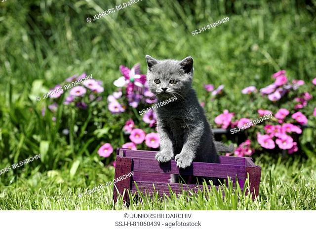British Shorthair. Gray kitten (6 weeks old) standing in a purple crate with flowering Petunias in background. Germany