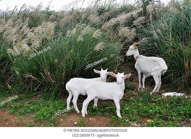 Aguni Island (Okinawa, Japan): goats