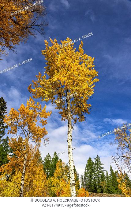 Aspen in fall at Grand Teton National Park USA