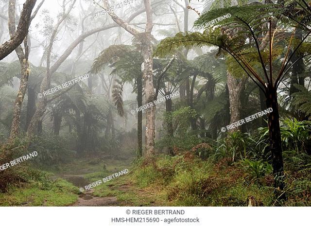 France, Reunion Island, Belouve forest, tree ferns