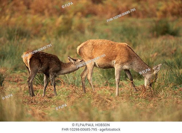 Red Deer Cervus elaphus hind with calf, suckling, Bradgate Park, Leicestershire, England