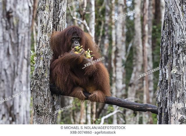Bornean orangutans, Pongo pygmaeus, on feeding platform, Buluh Kecil River, Borneo, Indonesia
