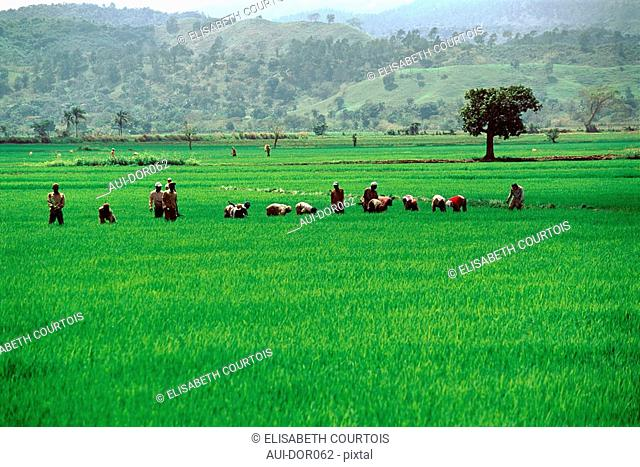 Dominican Republic - Cibao Valley - Rice Field