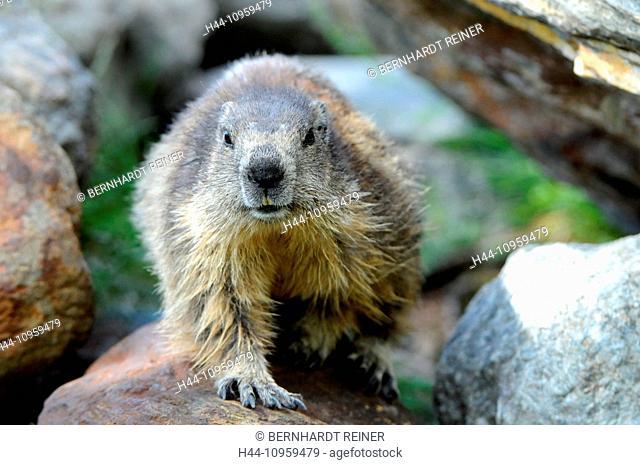 Groundhog, rodent, Alpine groundhog, gopher, Mankei, Marmota, summer, animal, animals, Germany, Europe