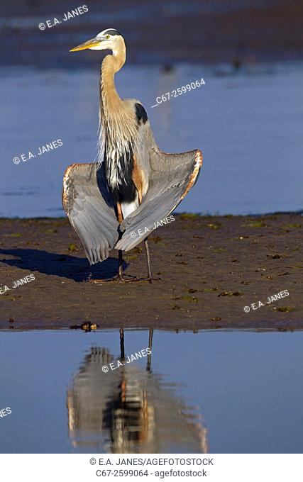 Great Blue Heron Ardea herodias drying wings in lagoon Fort Myers beach Gulf Coast Florida USA