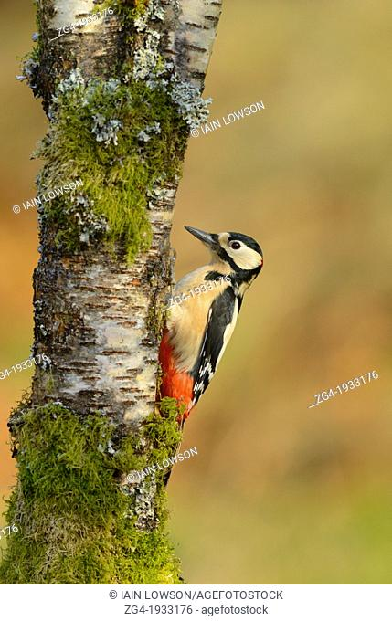 Male Great Spotted Woodpecker, Dendrocopos major, on Birch tree, Betula sp., Dumfries and Galloway, Scotland, UK
