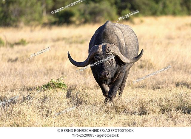 male African Buffalo (Syncerus caffer) in savannah, Sweetwaters Game Reserve, Kenya
