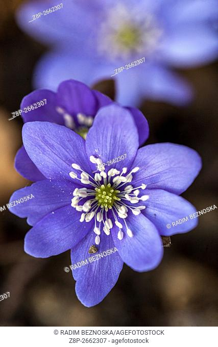 Liverwort blue spring flowers Hepatica nobilis