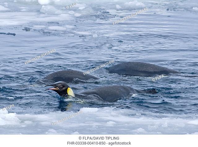 Emperor Penguin Aptenodytes forsteri adults, feeding, swimming at ice edge, Snow Hill Island, Weddell Sea, Antarctica