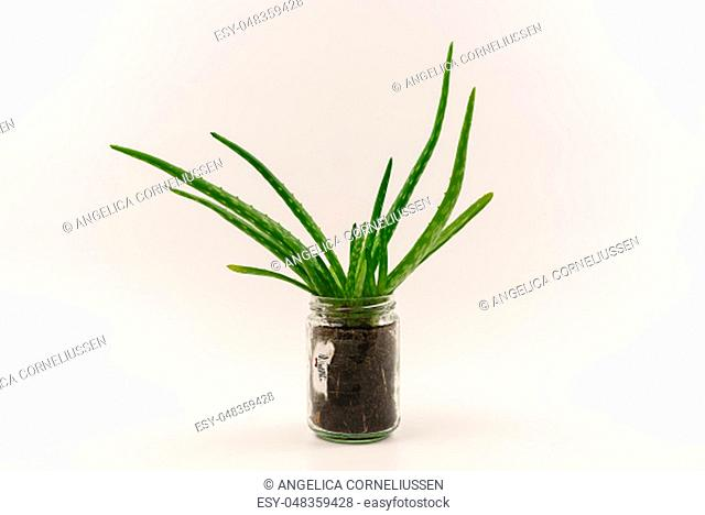 Cut-out of vibrant green, healthy aloe vera plant in an alternative reused hipster flowerpot isolated on clean white background