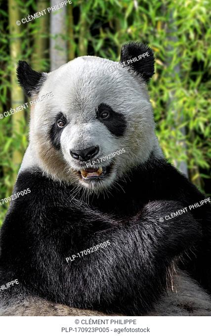 Giant panda (Ailuropoda melanoleuca) close up portrait in bamboo forest
