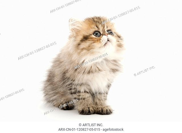 A sitting kitten looking above