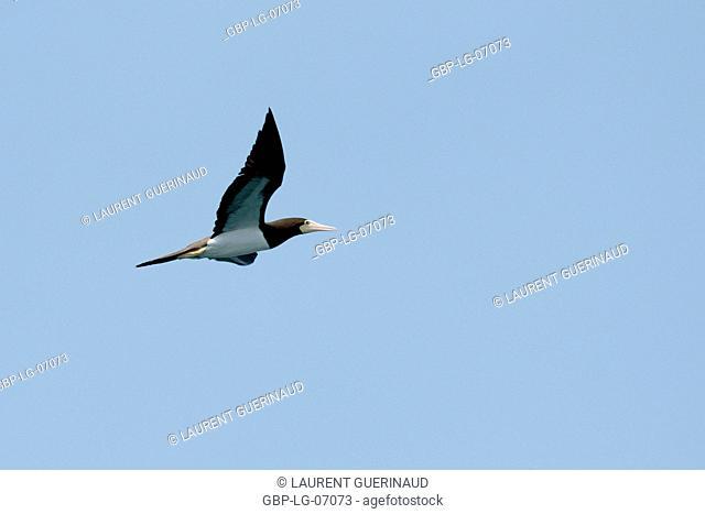 Bird, Alcatraz-pardo, Ilha do Mel, Encantadas, Paraná, Brazil