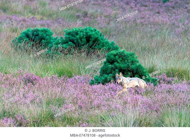 Wolf in blooming heath