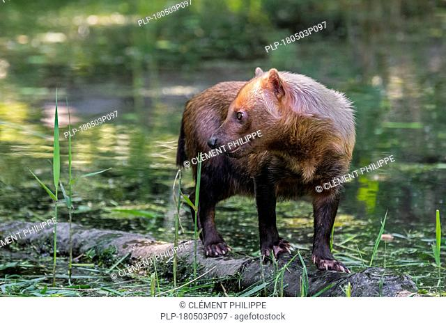 Bush dog (Speothos venaticus) canid native to Central and South America, standing on log in stream