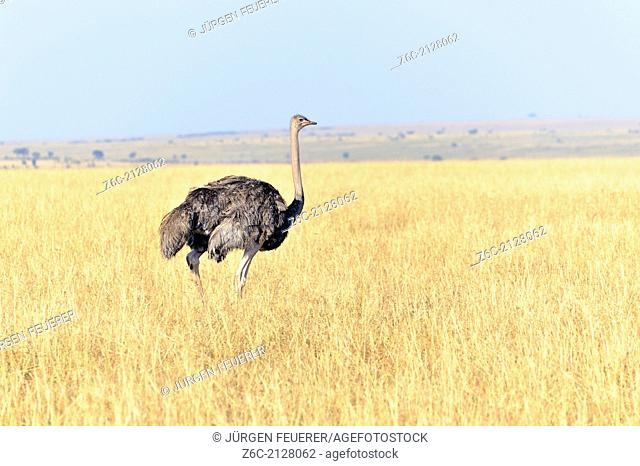 Young African Ostrich, Struthio camelus, in the Masai Mara landscape, Kenya