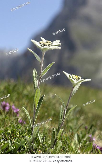 Edelweiss (Leontopodium alpinum Cass. ), Aster family (Asteraceae), Val de Bagnes, Valais, Switzerland