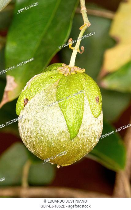 Chestnut-of-liana (Dicella nucifera), Campina do Monte Alegre, São Paulo, Brazil