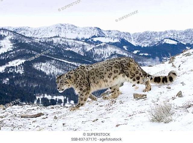 Snow leopard Panthera uncia walking in snow