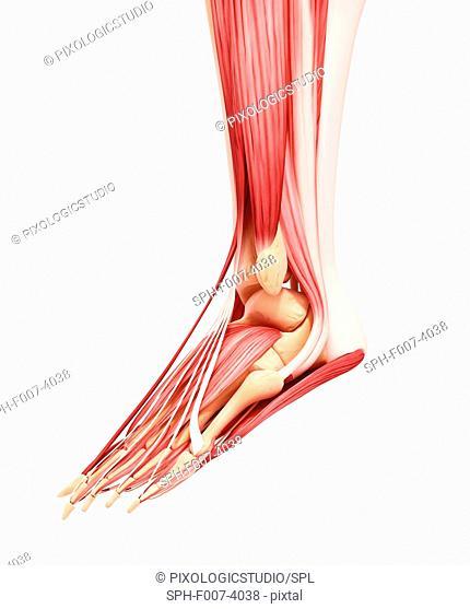 Human foot musculature, computer artwork