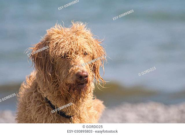 Bad hair day at the beach for this labradoodle dog, selective focus on the waves and water in the background with a copy space area