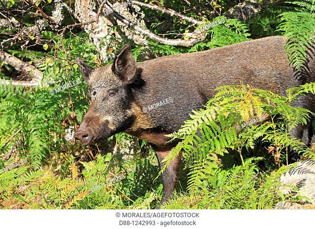 Wild Boar   Sus scrofa family , suidae  order : artiodactyla
