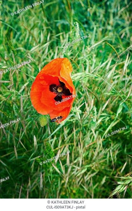 Insect on red poppy in field