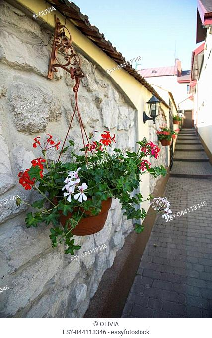 White and red geranium flowers in the pot