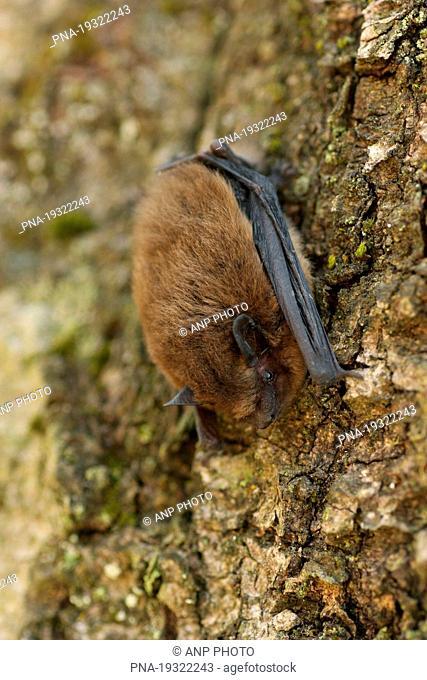 Common Pipistrelle Pipistrellus pipistrellus - Nature reserve Lampertstal, Blankenheim, Eifel, Rhineland-Palatinate, Rheinland-Pfalz, Germany, Europe