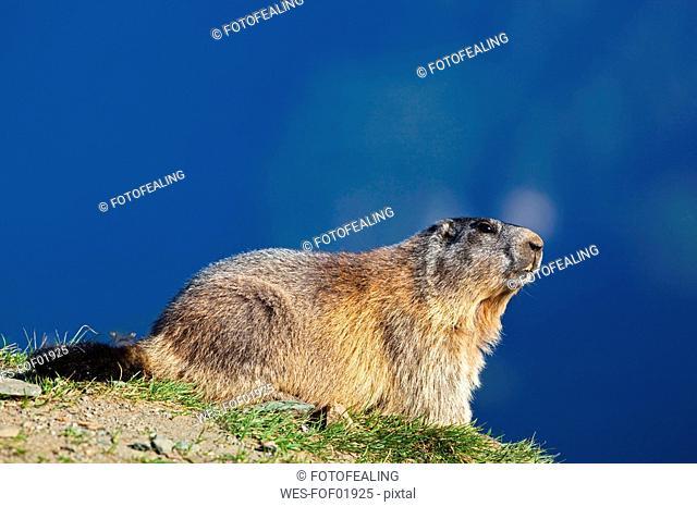 Austria, Alpine Marmot Marmota marmota
