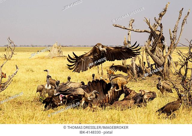 Black-backed Jackal (Canis mesomelas), two Hooded Vultures (Necrosyrtes monachus) and White-backed Vultures (Gyps africanus)