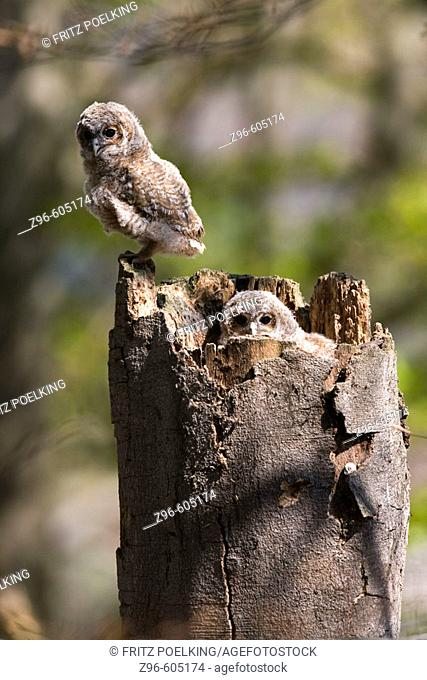 Tawny Owl (Strix aluco). Sachsen, Germany