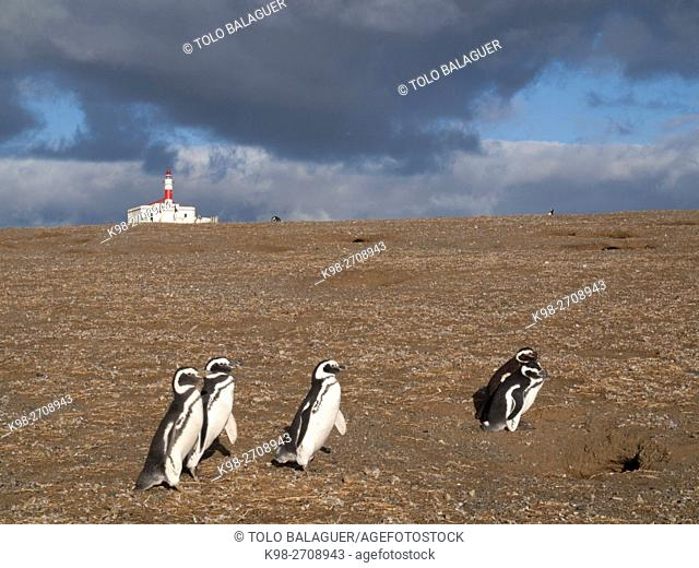 Chile, Patagonia, Magdalena island, Strait of Magellan, colony of Magellanic penguins (Spheniscus magellanicus)