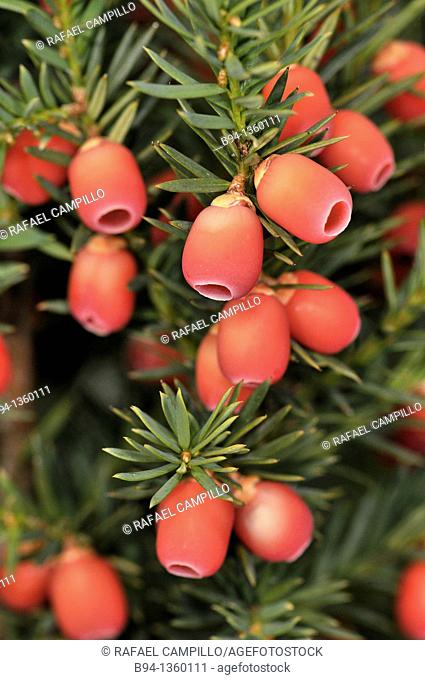 Common Yew (Taxus baccata), leaves and mature cones. Osseja, Pyrenees-Orientales, Languedoc-Roussillon, France