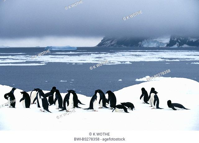 adelie penguin Pygoscelis adeliae, colony standing in snow at the coast, Antarctica