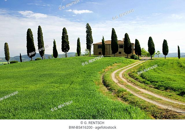 Italian cypress (Cupressus sempervirens), country house and cypresses in field landscape, Italy, Tuscany, Pienza