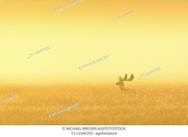 Fallow Deer (Cervus dama) on misty morning at sunrise, Hesse, Germany, Europe