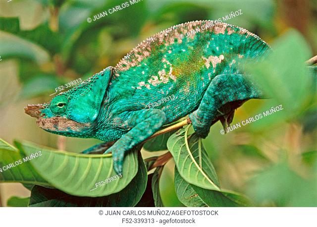 Chameleon (Calumma parsonii). Madagascar