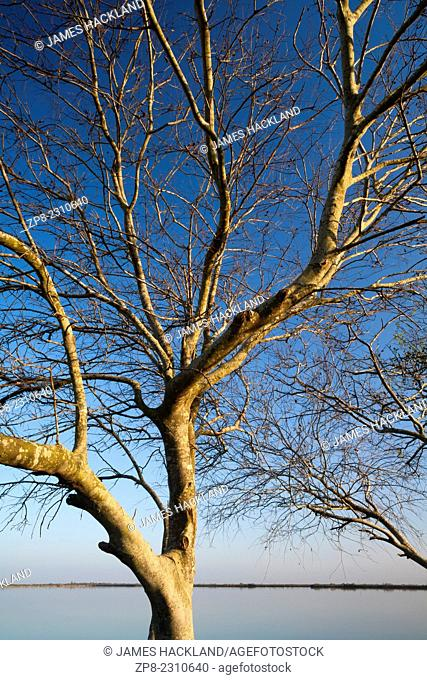 A bare tree contrasted by a vibrant blue sky. Donna Reservoir, Texas, USA