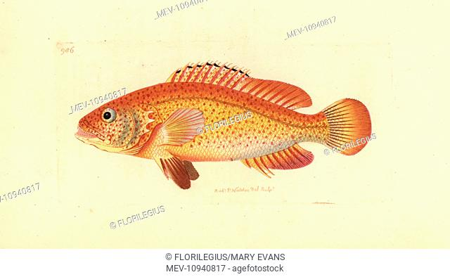 Coney fish, Cephalopholis fulva. . Handcolored copperplate engraving from George Shaw and Frederick Nodder's The Naturalist's Miscellany 1812