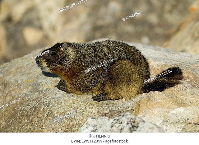 yellow-bellied marmot Marmota flaviventris, on rock, USA, Wyoming, Yellowstone NP