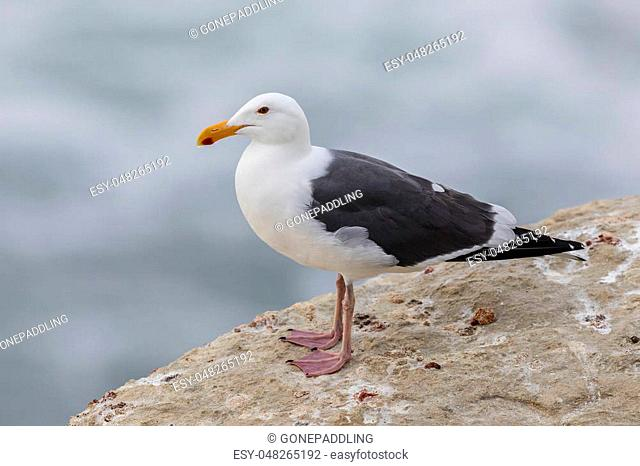 California Gull (Larus californicus) perched on a cliff next to the Pacific Ocean - San Diego, California