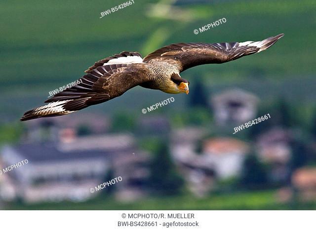 Bateleur, Bateleur eagle (Terathopius ecaudatus), in flight