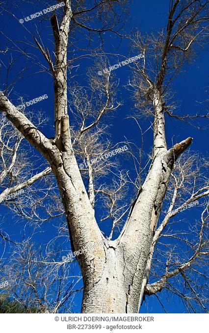 Dead tree against a blue sky, Ai-Ais - Richtersveld Transfrontier National Park, Namibia, Africa