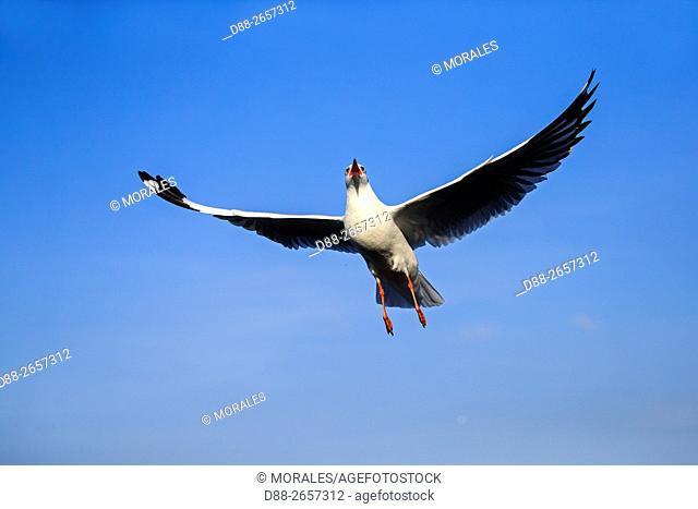 Myanmar, Shan State, Inle lake, . Brown-headed gull (Chroicocephalus brunnicephalus)